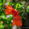 Pomegranate Blossoms...