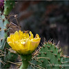 Prickly Pear bloom ...