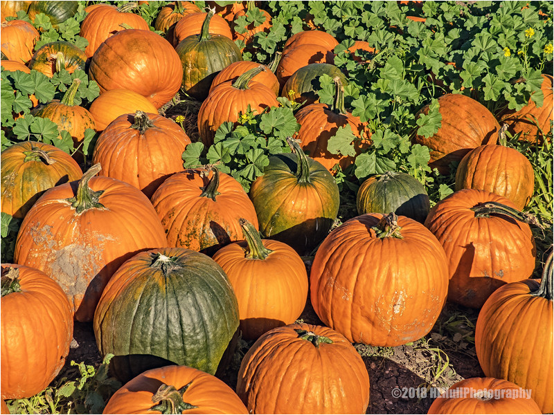 Pumpkin Festival & Pumpkin Patch...