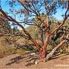 Manzanita tree...