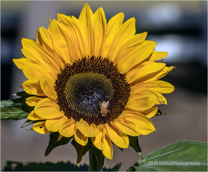 Sunflower...