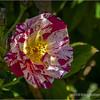 Variegated rose...