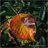 Fall leaf...