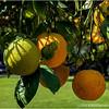 Oranges...