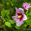 Rose of Sharon...