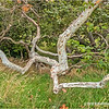 Twisted Sycamore...