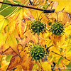 Sweetgum leaves and seed pods...