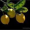 More lemons...