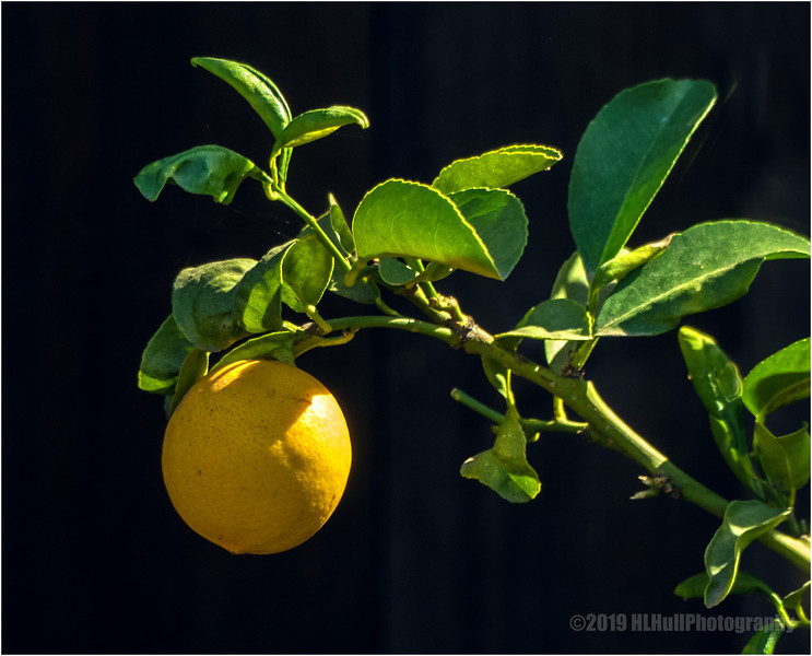 Backyard lemon...