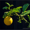 Backyard lemon...