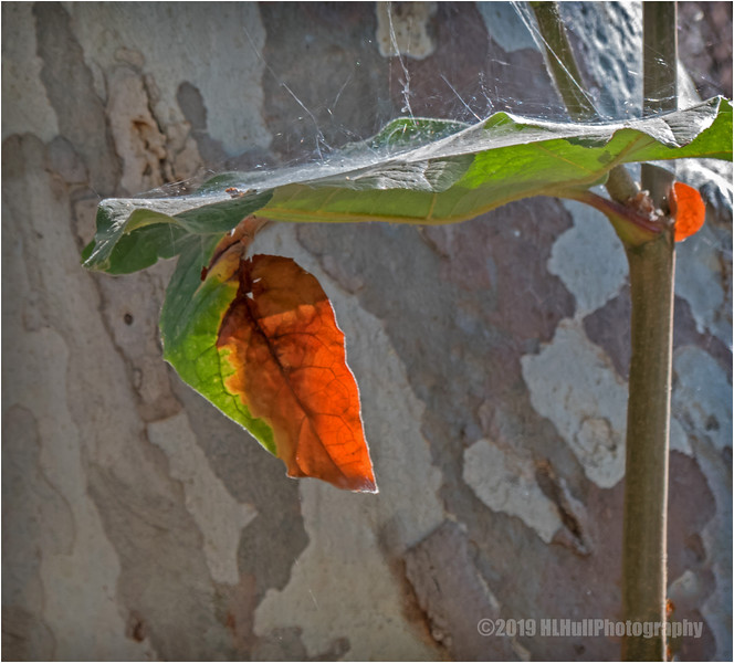 Leaves and a Spiderweb...
