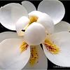Magnolia blossom...