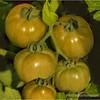 Garden tomatoes...