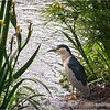 Black-crowned night heron...