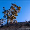 Eucalyptus in morning light...