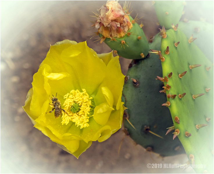 Prickly Pear blossom and visitor...