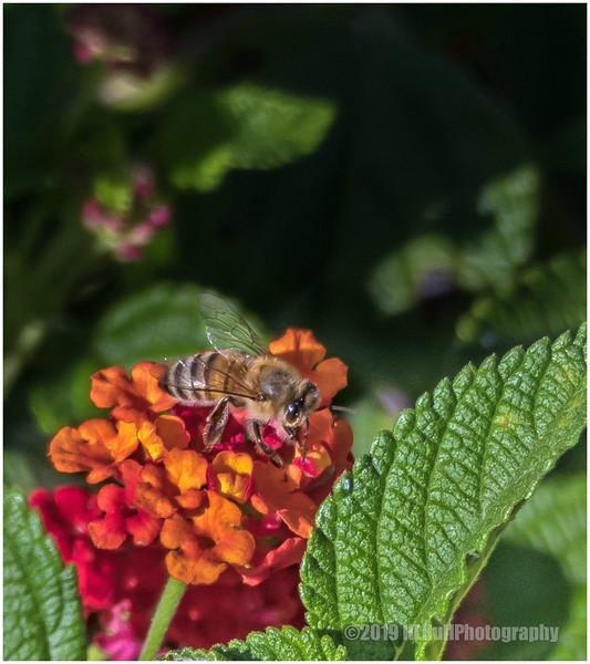 Bee on Lantana Flower...