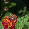 Bee on Lantana Flower...