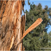 Eucalyptus tree bark...