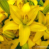 Asiatic Lily...