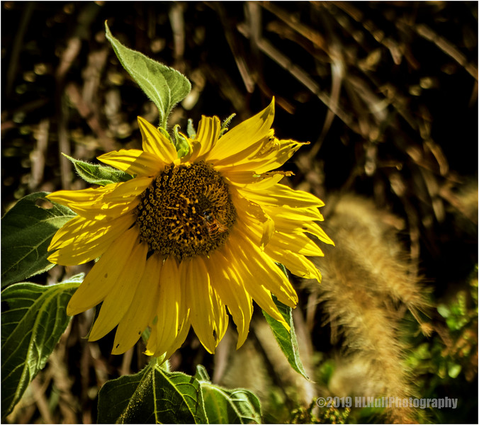 Sunflower...and visitor