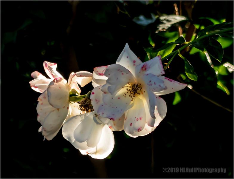 Speckled roses...