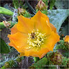 Prickly pear flower...