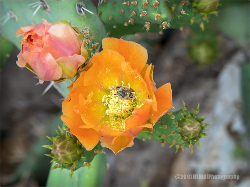 Prickly Pear Bloom...