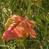 Wild Mustard Leaf...