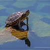 Red-eared slider...