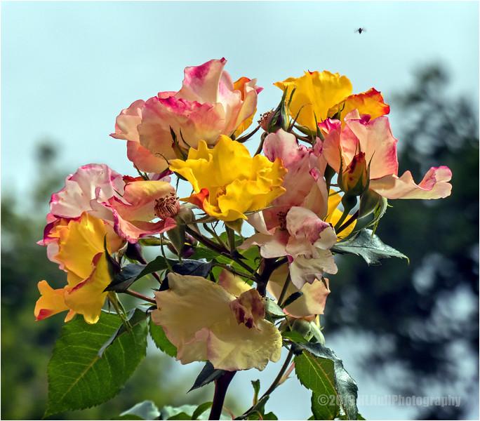 Flutterbye Shrub Rose...