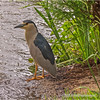 Black-Crowned Night Heron...