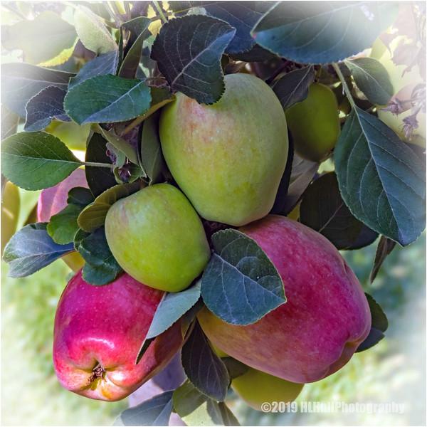 Backyard apples...