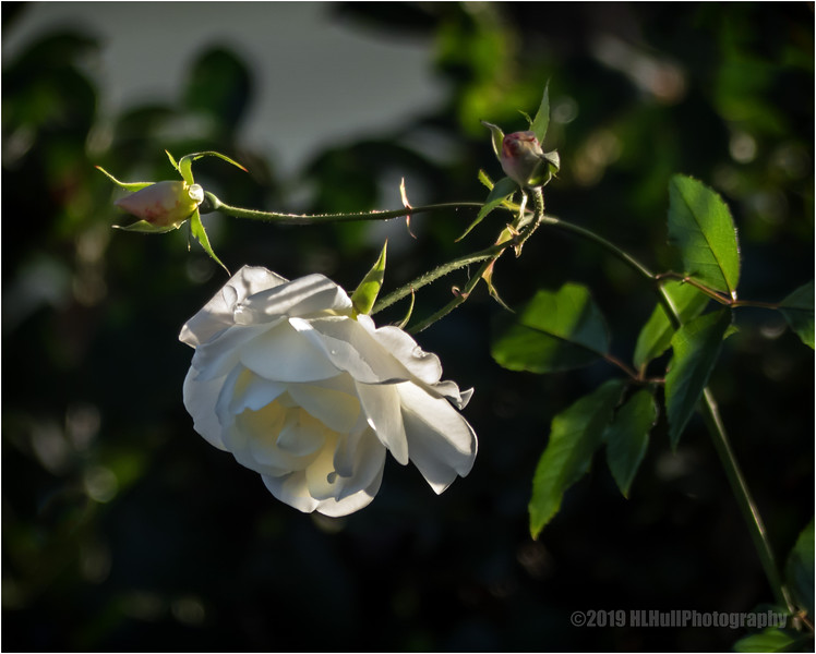 Rose and buds...