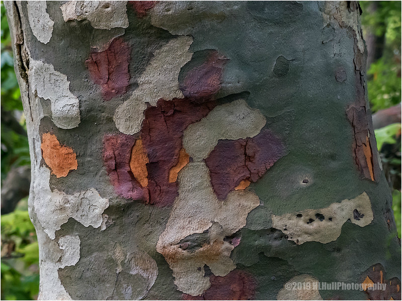 Colorful bark...