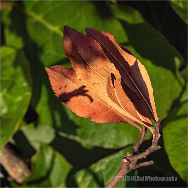 Brown leaves...