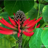 Coral flame tree flower...