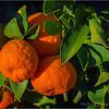 Backyard Tangerines...