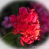 Backyard geranium...