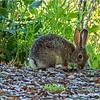 Cottontail rabbit...