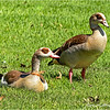 Egyptian geese...