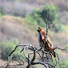 Red-tailed Hawk...