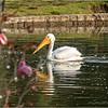 American white pelican...