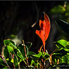 Red Leaves...