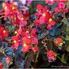 Front Porch Begonia...