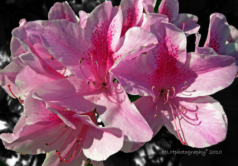 Imperial Queen Azalea<br /> <br /> I saw these beautiful flowers on one of my recent afternoon strolls and had to take a photo. The wind was blowing fairly briskly and I had a hard time getting them in the frame. The plant itself was just loaded with blooms.