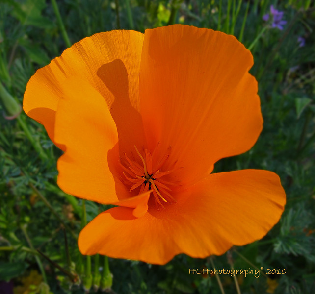 California Poppy<br /> <br /> <br /> The SmugMug help desk was able to recover yesterdays' lupine wildflowers photo. Still don't know happened but I'm grateful!<br /> <br /> Thanks again to everyone for all your comments! Greatly appreciated and encouraging!
