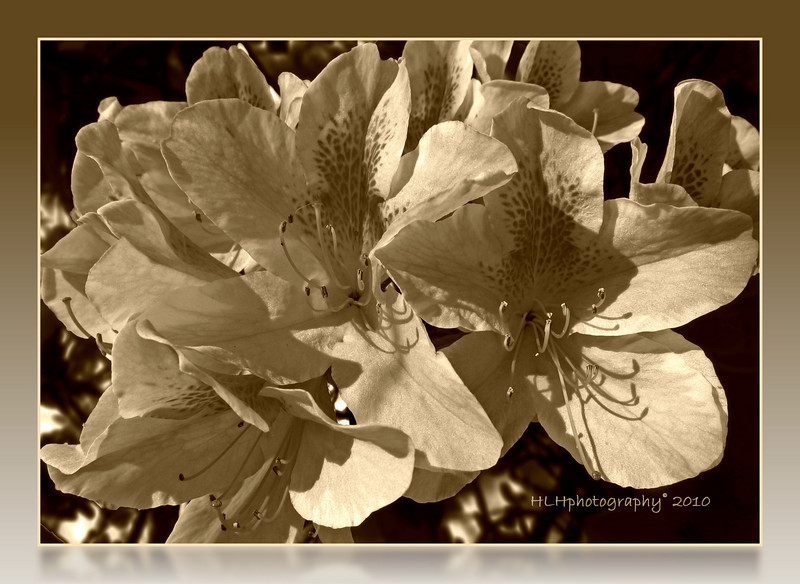 "Timeless Azaleas...<br /> <br /> I was planning on posting this ""aged' azalea shot yesterday but thought better of it and opted for the colored version. However I still kinda like this so I'm going with it today. What do you all think? Thanks for all the comments on yesterdays post. Greatly appreciated! Have a nice week-end everyone!"