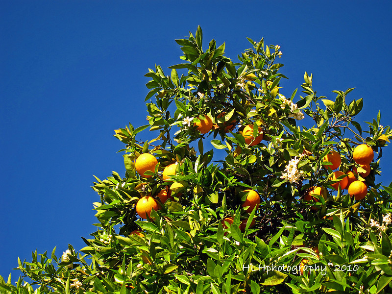 The breeze brought the aroma of these orange blossoms my way on a recent afternoon walk. The green of the tree, the oranges against the blue sky were to much to resist! I had to take a shot.