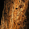 Pepper Tree Bark